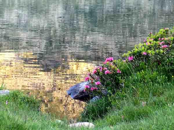 2420 - rhododendrons - lac de rosari.jpg