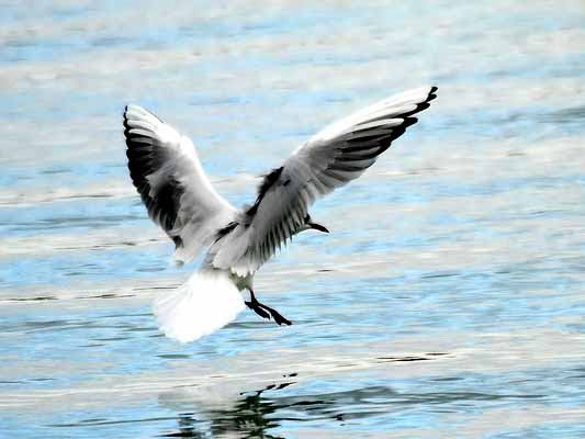 mouette rieuse_5361_2.jpg