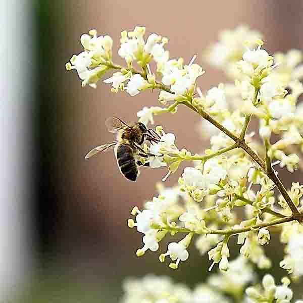 abeille butinant.jpg