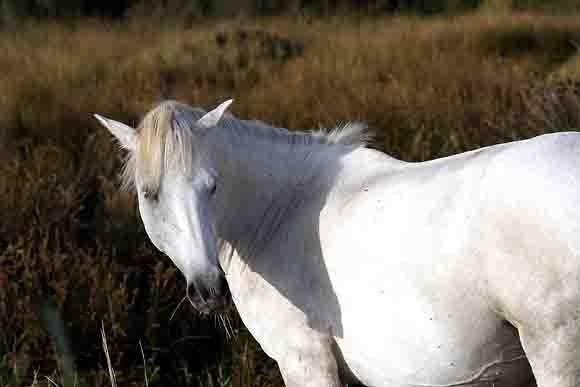 5392 -cheval de Camargue.jpg