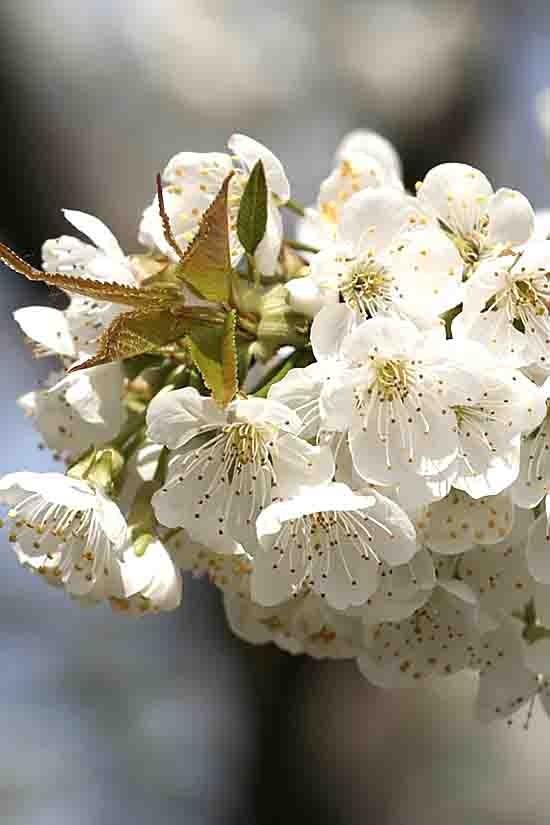 4551 -cerisier en fleur.jpg