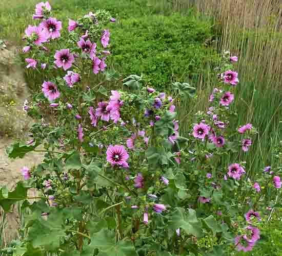 fleurs de talus - grande mauve - 497 2.jpg