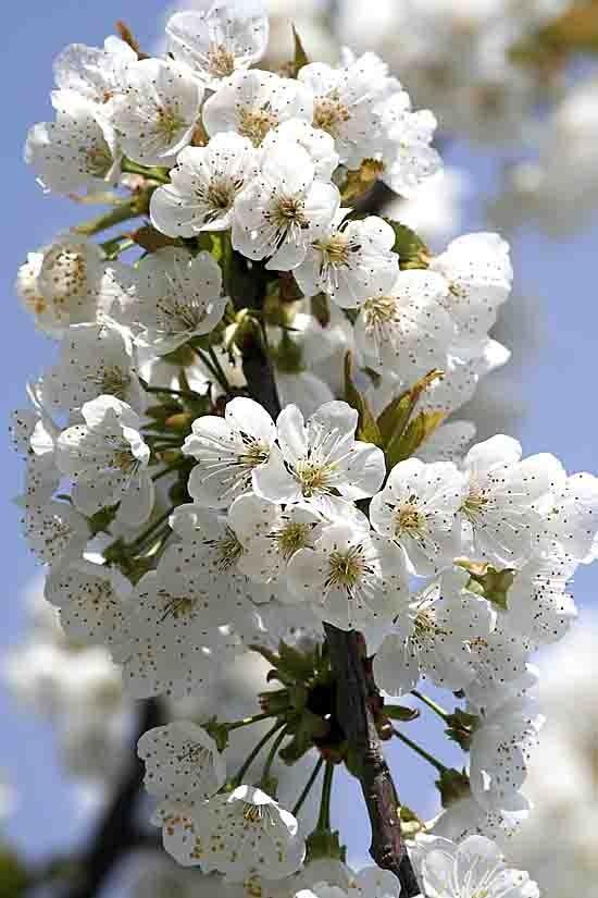 4550.j- cerisier en fleur.jpg