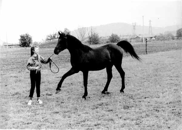 1987 - pur sang arabe - le Puy en Velay.jpg