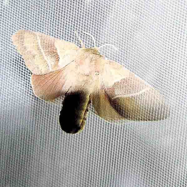 Bombyx de la Ronce (Macrothylacia rubi)_8403.jpg
