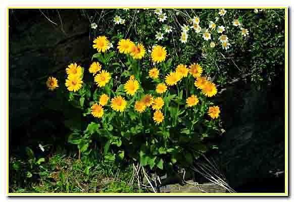 un beau bouquet de Doronic.jpg