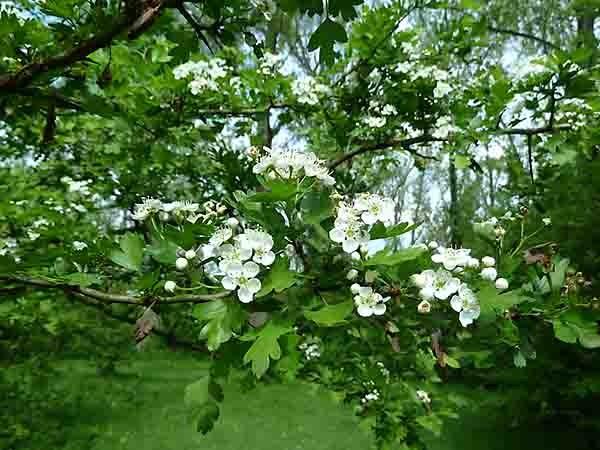 aubépine en fleur-2.jpg