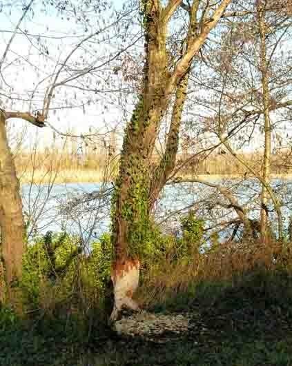 castor -bord du Rhône- l'arbre 2.jpg