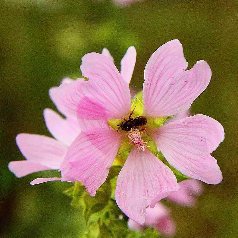 abeille sur _3910.jpg