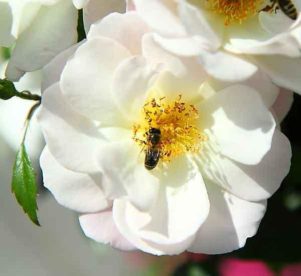 rose_8489_1.jpg