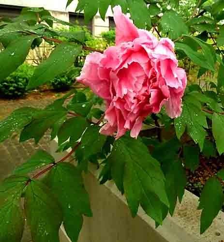 fleur rose_20426.jpg