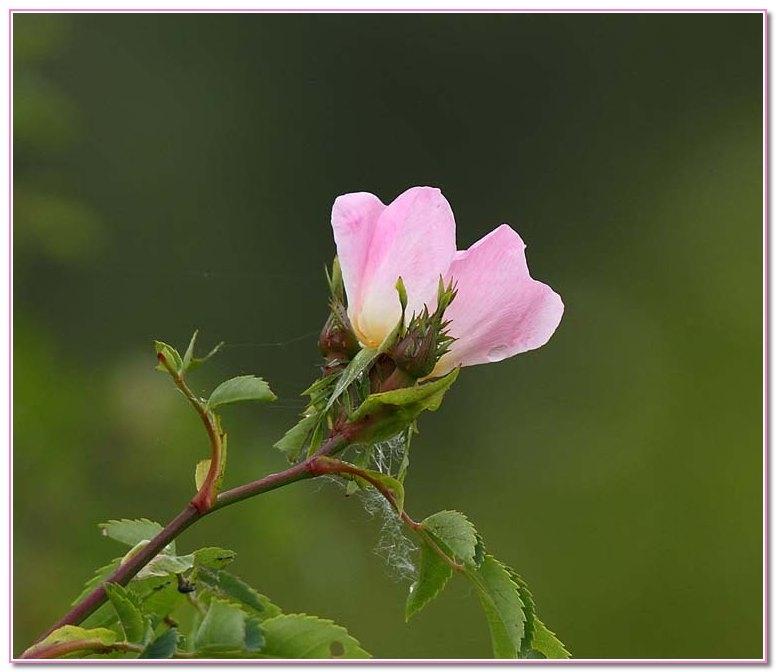 Rose_3359.jpg