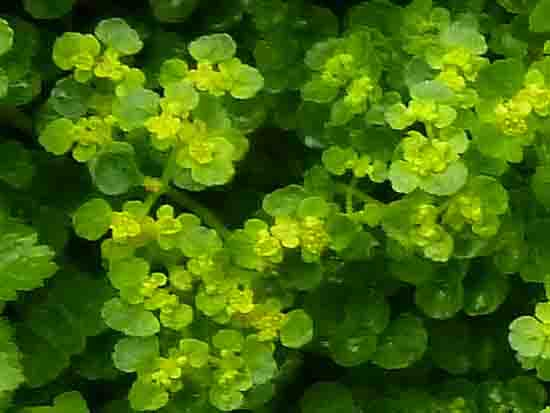Dorine à feuilles opposées-Chrysosplenium oppositifolium_détail_P1050577.jpg