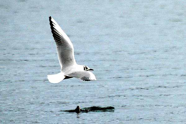 mouette rieuse_5352.jpg