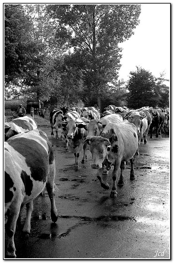 le retour du troupeau au Palachin.jpg