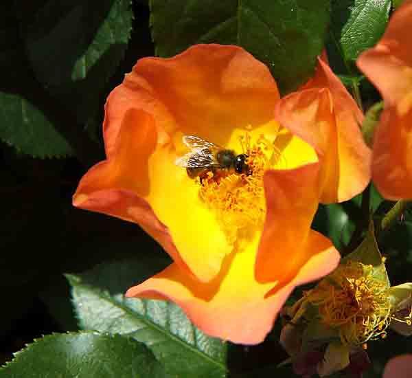 rose_8481.jpg