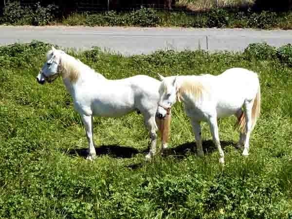 chevaux gris -P1020447.jpg