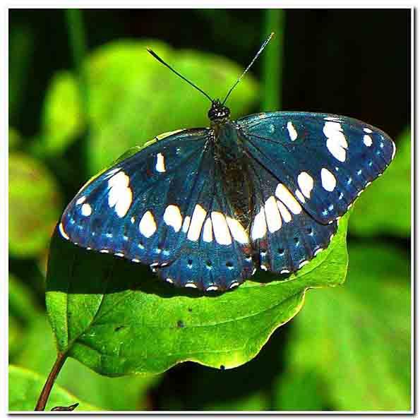 papillon bleu 2.jpg