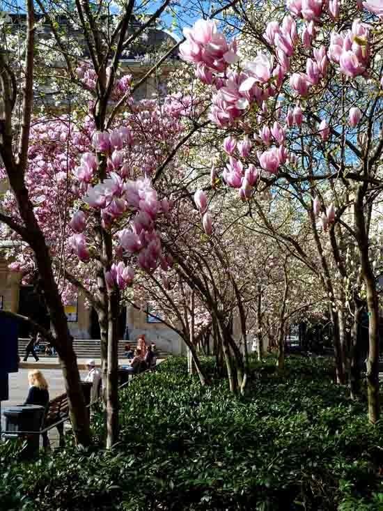 blog - magnolias - P1000538.jpg