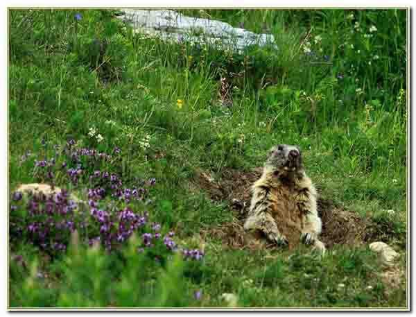 marmotte des Alpes _ 8992.jpg