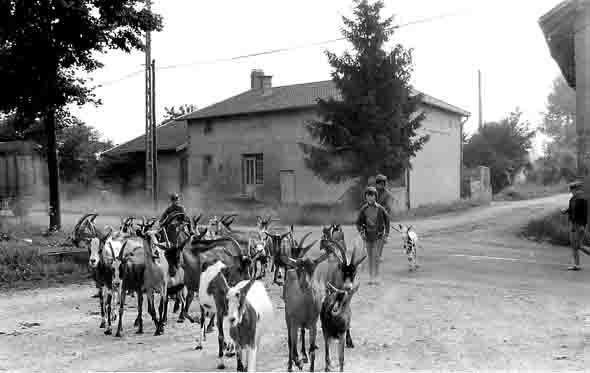 blog - le troupeau de chèvres de Replonges.jpg