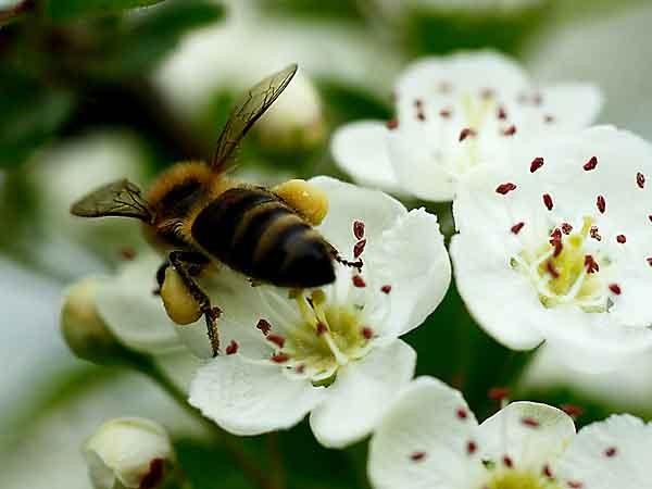 abeille et aubépine_6220.jpg