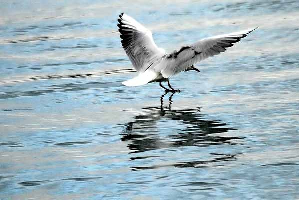 mouette rieuse_5362 _filtered.jpg