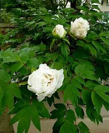 fleur blanche_20427.jpg