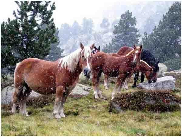 744 - val d'aran -chevaux sous la neige.jpg