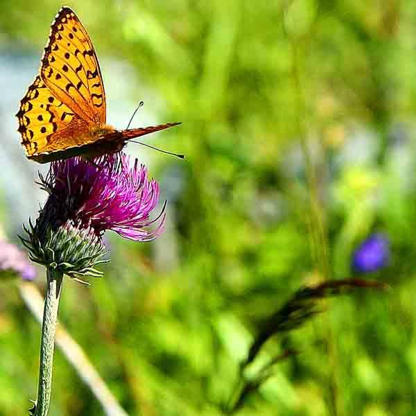 papillon_4293.jpg