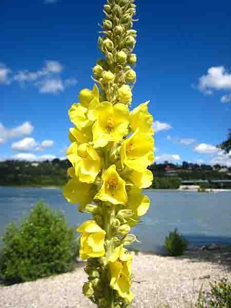 bouillon blanc  fleurs - 2084.jpg