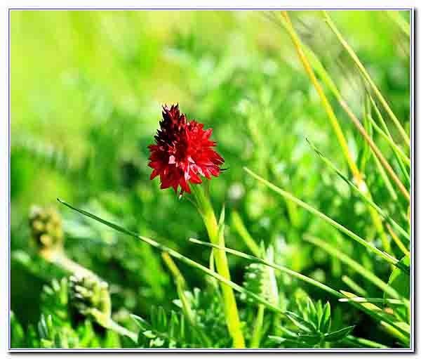 fleurs des Alpes _b.jpg