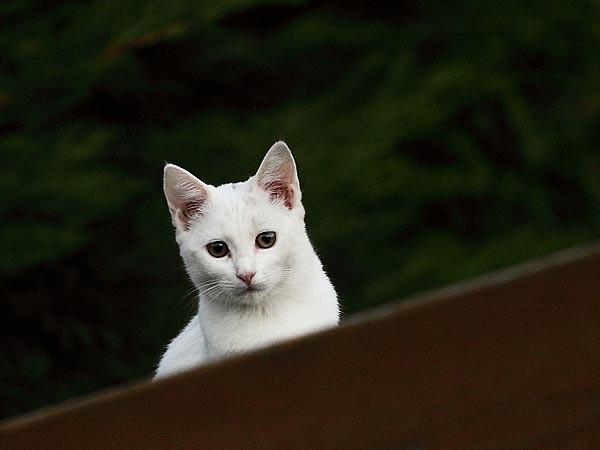 chaton blanc - détail - 1905.jpg