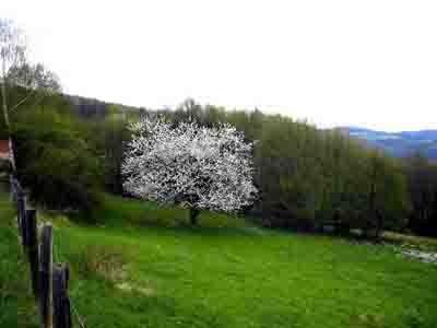 8526 cerisier.3.jpg