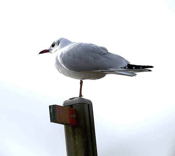 mouette rieuse_4667_3.jpg