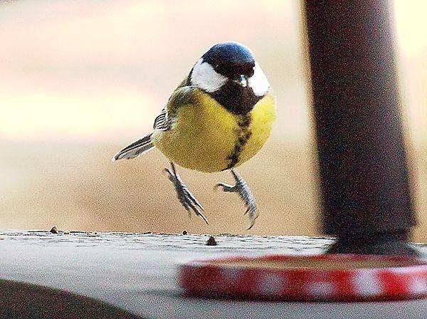 mésange  atterrissant.jpg