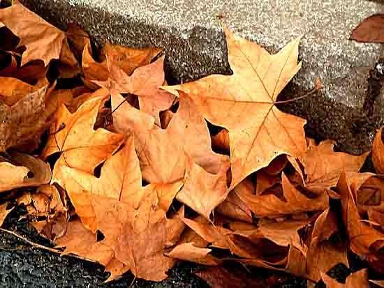 blog - feuilles de platane - P1010947.jpg